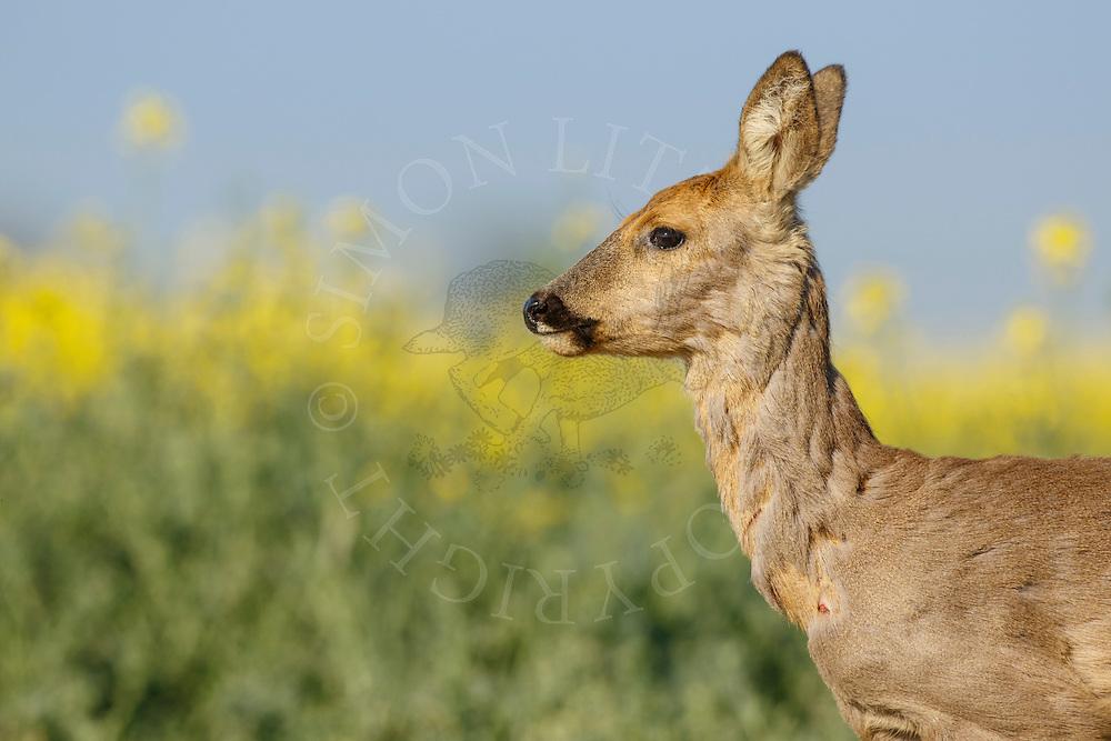 Western Roe Deer (Capreolus capreolus) female in moult by oilseed rape crop, South Norfolk, UK. May.