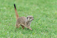 Suricate running across open veld, Addo Elephant National Park, Eastern Cape, South Africa