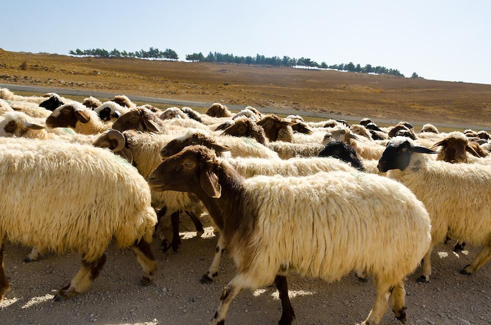 A herd of bedouin sheep on a dirt road near Dana, Jordan