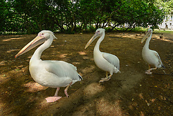 © Licensed to London News Pictures. 16/07/2019. LONDON, UK. The existing colony of pelicans just after being fed in St James's Park.  They are joined by three new great white pelicans (not pictured) which have been released into the park.  A gift from Prague Zoo arriving at the end of May, the new pelicans have been kept hidden from public view while they settled in to their new surroundings.  The two males, Sun and Moon, and a female named Star, were hatched in February.   Photo credit: Stephen Chung/LNP