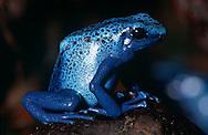 DEU, Deutschland: Azurblauer Baumsteiger (Dentrobates azureus), Pfeilgiftfrosch, Dentrobat, sehr kleiner hoch giftiger Frosch, selten über 5 cm lang, vom Aussterben bedroht und streng geschützt, verschiedene Südamerikanische Indianerstämme verwenden die Hautgifte dieser Frösche um die Spitzen ihrer Blasrohrpfleile zu präparieren, Herkunft: Südamerika | DEU, Germany: Blue arrow poison frog (Dentrobates azureus), poison dart frog, Dentrobat, very small poisonous frog, grows maximum 5 cm, endangered species and strict protected, the skin toxin is often used on the tips of arrows or darts of natives, origin: South America |