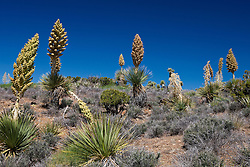 Blooming Mojave yucca plants (Yucca schidigera), Joshua Tree National Park, California, United States of America