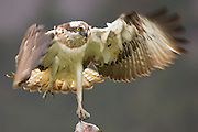 Osprey (Pandion haliaetus) with fish, Cairngorms NationalPark, Scotland.