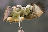 Osprey (Pandion haliaetus) with fish, Cairngorms NationalPark, Scotland.