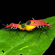 Pyrrhocoridae bugs mating in Kaeng Krachan National Park, Thailand.
