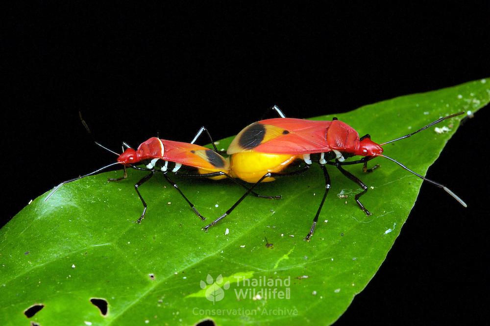 Pyrrhocoridae bugs mating in Kaeng Krachan National Park, Thailand.