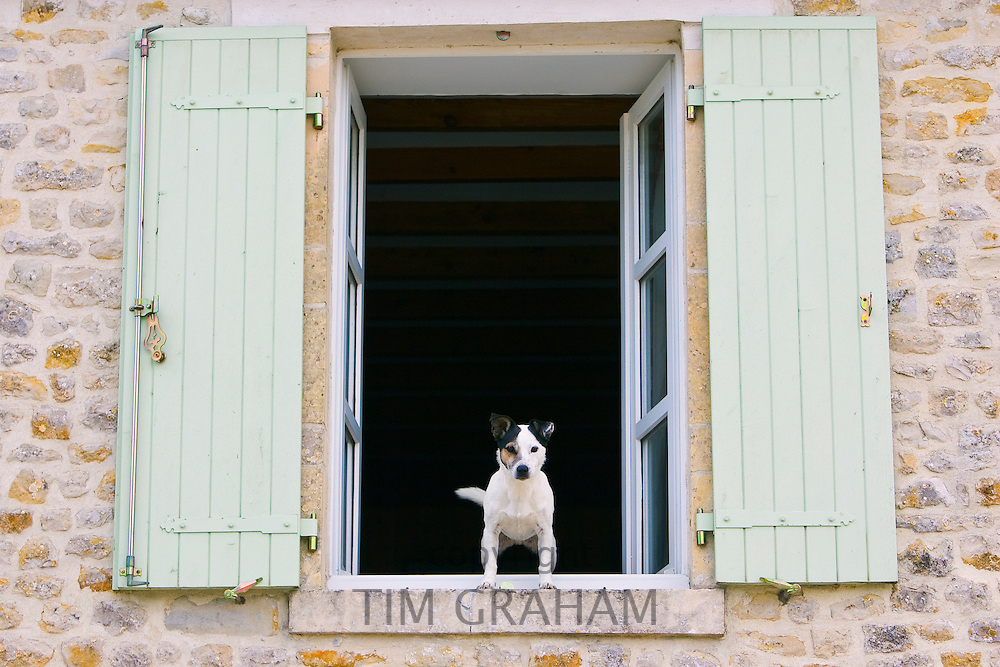 Jack Russell Terrier called Johnny Johnson, guards his home in Normandy, France RESERVED USE - NOT FOR DOWNLOAD -  FOR USE CONTACT TIM GRAHAM