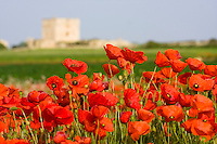 """Spring bloom of poppies with an ancient """"masseria"""" on the background."""