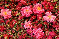 Maroc - Haut Atlas - Vallée du Dadès - Vallée des Roses - Récolte et séchage des Roses