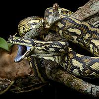 Carpet Python (Morelia spilota). Queensland, Australia.