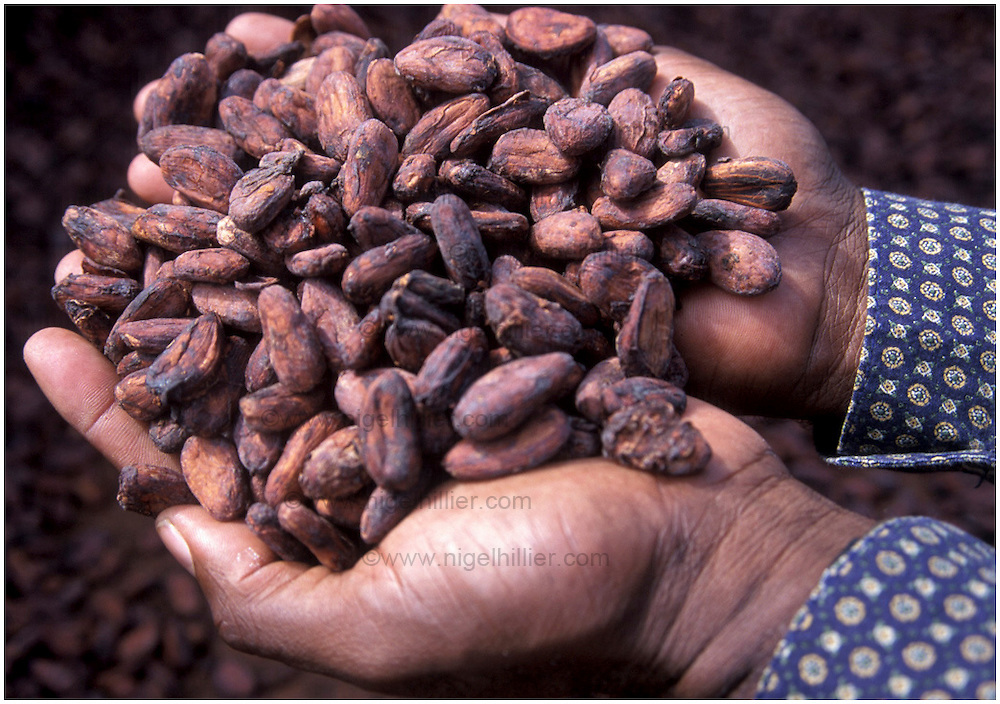 copyright: Nigel Hillier.Brazil,Bahia, Ilheus, Itabuna. close up of hands holding cocoa beans
