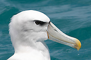 White-capped Albatross, Kaikoura, New Zealand