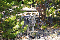 Coyote is one of the silent and curious predators in the forest.
