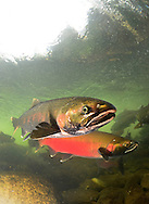Coho Salmon<br />