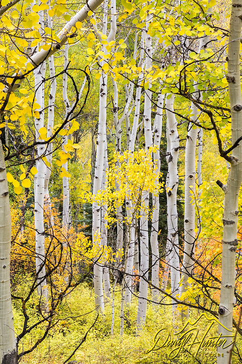 Aspen Portrait, Telluride Colorado. On an overcast day that wasn't fit for shooting the mountains of the San Juan Range that were hidden in the clouds gave me the opportunity for some detail work. There is never a reason to go to the hotel and rest LOL.