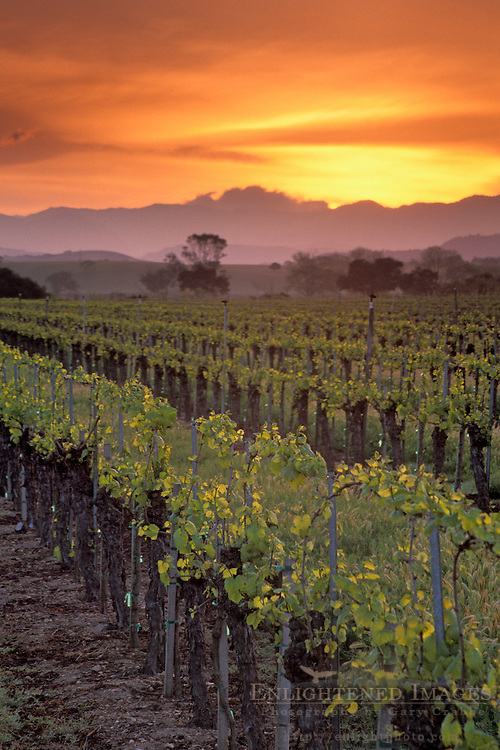 Sunrise over vineyard in spring along Refugio Road, near Santa Ynez, Santa Barbara County, California