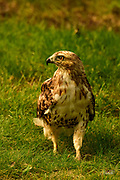 This Red-tailed Hawk was stalking insects and small rodents in the grass at Mount Auburn Cemetery in Cambridge, Massachusetts.  <br /> <br /> The Red-tailed Hawk (Buteo jamaicensis), also sometimes known as a &quot;chicken hawk&quot;, is one of the most common buteos in North America.  These hawks most commonly prey on small mammals such as rodents, but they will also consume birds, fish, reptiles, and amphibians.  Usually, they will eaither swoop down from an elevated location or attack in midair.  <br /> <br /> These hawks breed throughout most of North America, from western Alaska and northern Canada to as far south as Panama and the West Indies.  There are fourteen recognized subspecies, which vary in appearance and range. The Red-tail typically has a wingspan of 43 to 57 inches, being 18 to 26 inches in length and weighing 1.5 to 3.5 pounds, thus making it one of the largest members of the genus Buteo in North America.