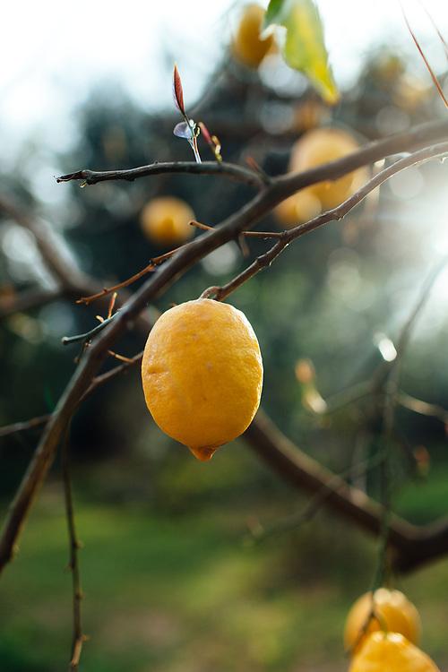 Lemon trees in Piano di Sorrento, Italy