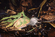 Amazon Horned Frog eating mouse<br />