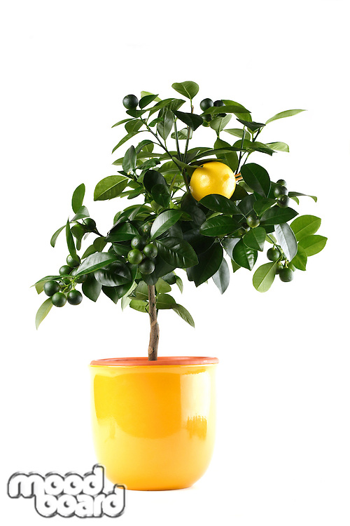 Lime tree in pot - white background
