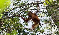 Baby orangutan, Pongo pygmaeus, in a tree, Sarawak, Malaysia