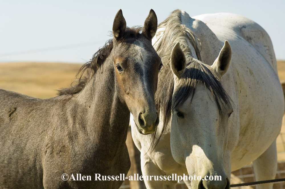 Gray Quarter Horse mare and foal