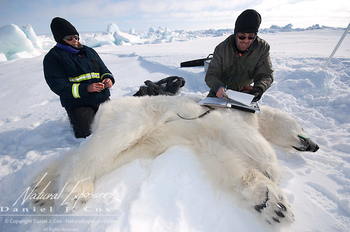Geoff York, a USGS biologist and Katrina Knott, research assistant, taking measurements of a polar bear (Ursus maritimus) they've darted on the Beaufort Sea pack ice. Kaktovik, Alaska.