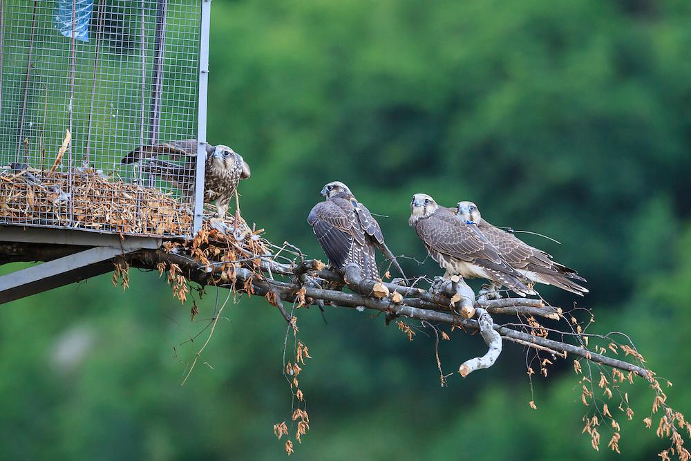 Young Saker Falcons (Falco cherrug) perched on hack box. Bulgarian Saker Reintroduction Project. Central Balkan National Park. Bulgaria.