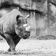 Soul Survival: Black Rhinoceros (Diceros bicornis)<br />