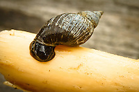We found this snail clinging to a branch floating in the river.  i brought it up for a better look, but then returned it to the river.....©2010, Sean Phillips.http://www.RiverwoodPhotography.com