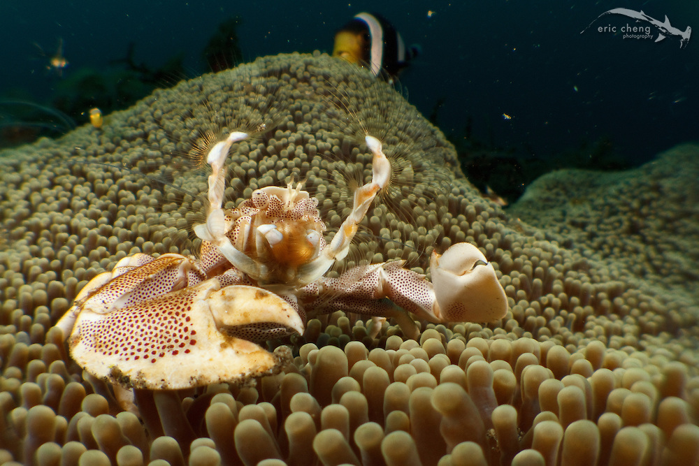 A porcelain crab (Neopetrolisthes maculatus) filter feeds from the safety of its host anemone (Stichodactyla haddoni). Lembeh Strait, Indonesia. echeng100305_0253178