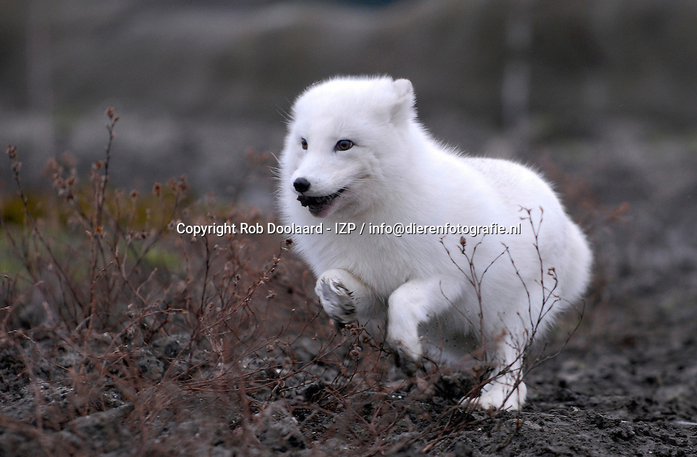 Poolvos - Vulpes lagopus / Arctic Fox - White Fox or Snow Fox / Polarfuchs - Eisfuchs