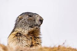 THEMENBILD - ein Murmeltier, aufgenommen am 20. April 2018 in Fusch an der Glocknerstrasse, Österreich // a marmot, Fusch an der Glocknerstrasse, Austria on 2018/04/20. EXPA Pictures © 2018, PhotoCredit: EXPA/ JFK