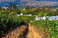 Vineyards at harvest time, Kleine Zalze Wines, Stellenbosch, Cape Winelands, South Africa.