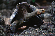 Galapagos Giant Tortoise<br />