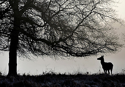 © Licensed to London News Pictures. 15/03/2012. Richmond, UK. A deer silhouetted against the whiteout conditions.  Foggy conditions at Richmond Park this morning, 15 march 2012. The weather is expected to be good across large parts of the UK for the day.  Photo credit : Stephen SImpson/LNP