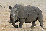 White Rhino, Cerathoterium simum, from Solio Ranch, Kenya.