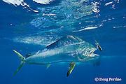 dorado, mahi mahi, or dolphin fish, Coryphaena hippurus, chasing bait, off Isla Mujeres, near Cancun, Yucatan Peninsula, Mexico ( Caribbean Sea )