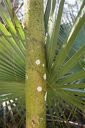 fungus on a palm tree in Florida