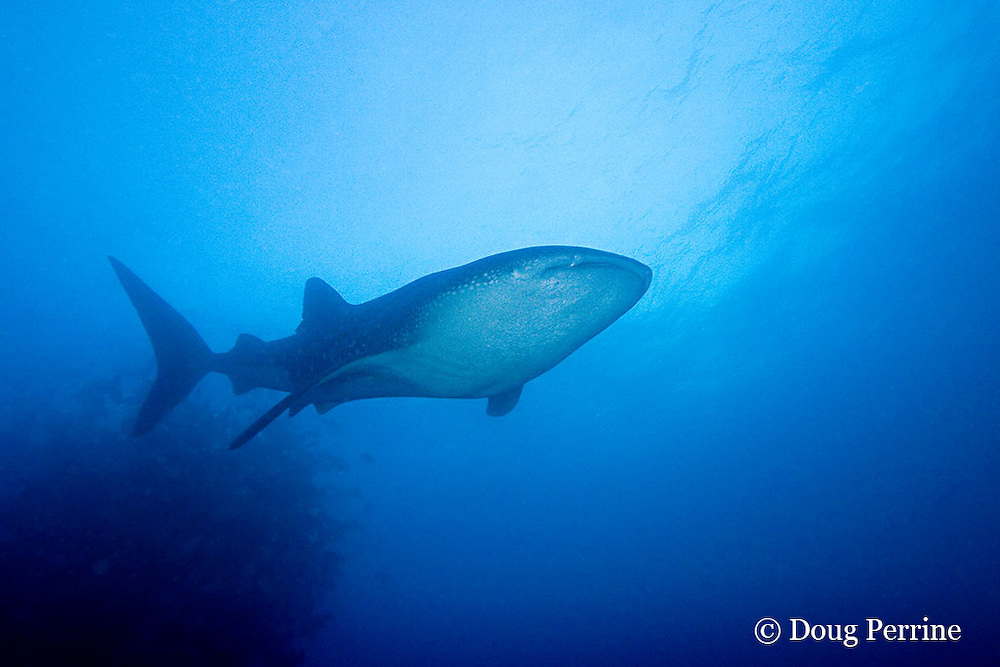 whale shark, Rhincodon typus, swims past balled school of spawning dog snappers, Lutjanus jocu, at spawning aggregation site, Gladden Spit & Silk Cayes Marine Reserve, off Placencia, Belize, Central America ( Caribbean Sea )