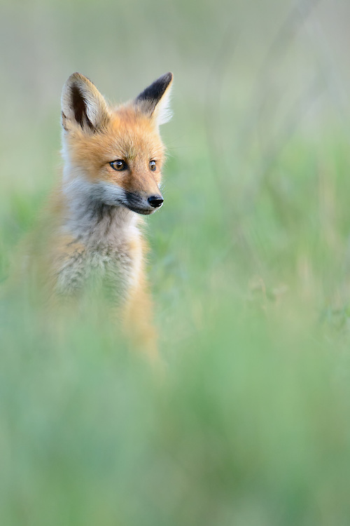 Red Fox Kit Portrait, Missoula, Montana