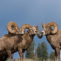 bighorn sheep herd, trophy bighorn sheep ram herd