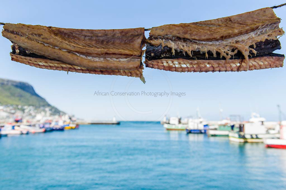 Salted and sun-dried fish, otherwise known as Boggoms hanging up to dry. Kalk Bay Harbour, Cape Town, Western Cape, South Africa.