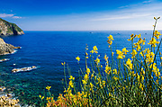 Wildflowers on the Via dell'Amore (The Way of Love), Riomaggiore, Cinque Terre, Liguria, Italy