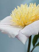 Paeonia lactiflora 'Barrymore' - peony