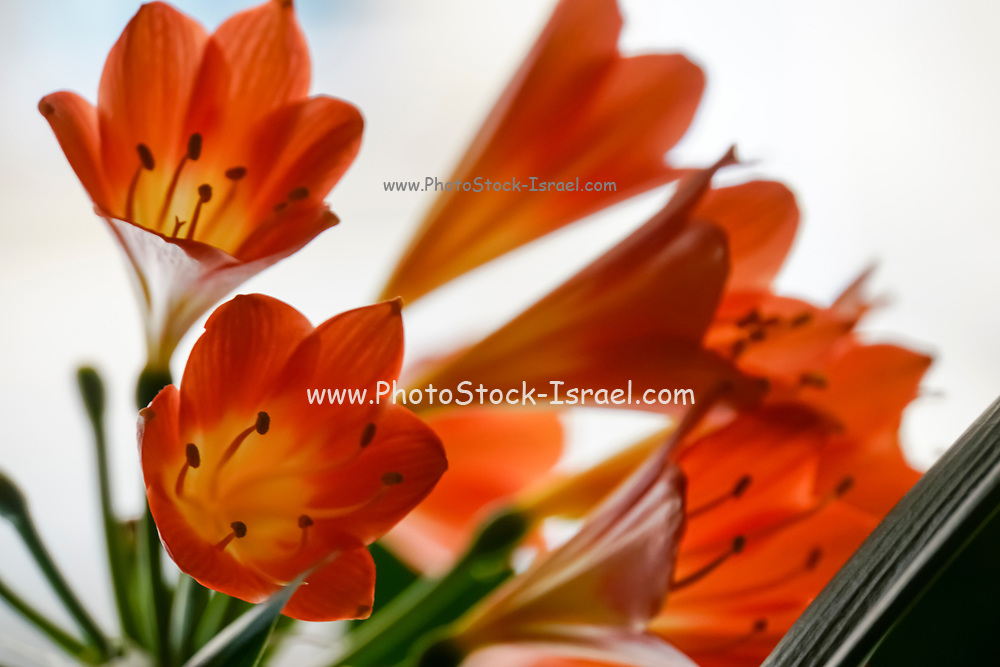 Blooming Orange Amaryllis with a white background