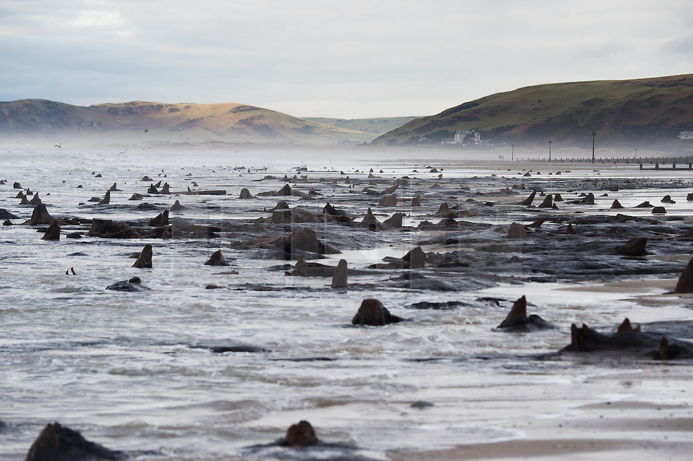 © Licensed to London News Pictures. 19/02/2014. Borth, UK. Ancient forest revealed by storms. The recent huge storms and gale force winds that have battered the coast of West Wales have stripped away much of the sand from stretches of the beach between Borth and Ynyslas. The disappearing sands have revealed  ancients forests, with the remains of oak trees dating back to the Bronze Age, 6,000 years ago.  The ancient remains are said by some to be the origins of the legend of 'Cantre'r Gwealod' , a mythical kingdom now submerged under the waters pif Cardigan Bay.. Photo credit : Keith Morris/LNP