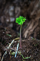 Springtime in the Pacific Northwest! A brand new seedling Pacific bleeding heart begins its life at the base of an old Douglas fir.