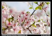 Cotton Candy Blossoms<br /> Cherry Blossom Festival - Washington, DC<br /> April 13, 2014