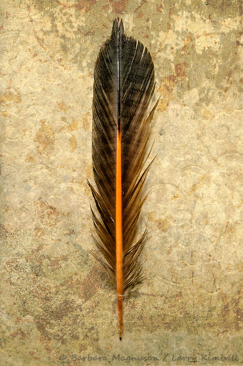 Northern Flicker [Colaptes auratus] feather, detail; Fremont County, Colorado